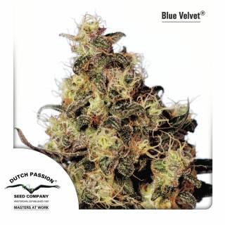 Blue Velvet Feminisiert