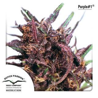 Purple #1 Feminisiert
